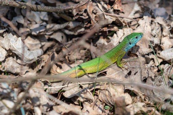 smaragd eidechse thayatal 2020-04-28