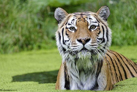 tiger zoo schönbrunn 2020-05-30