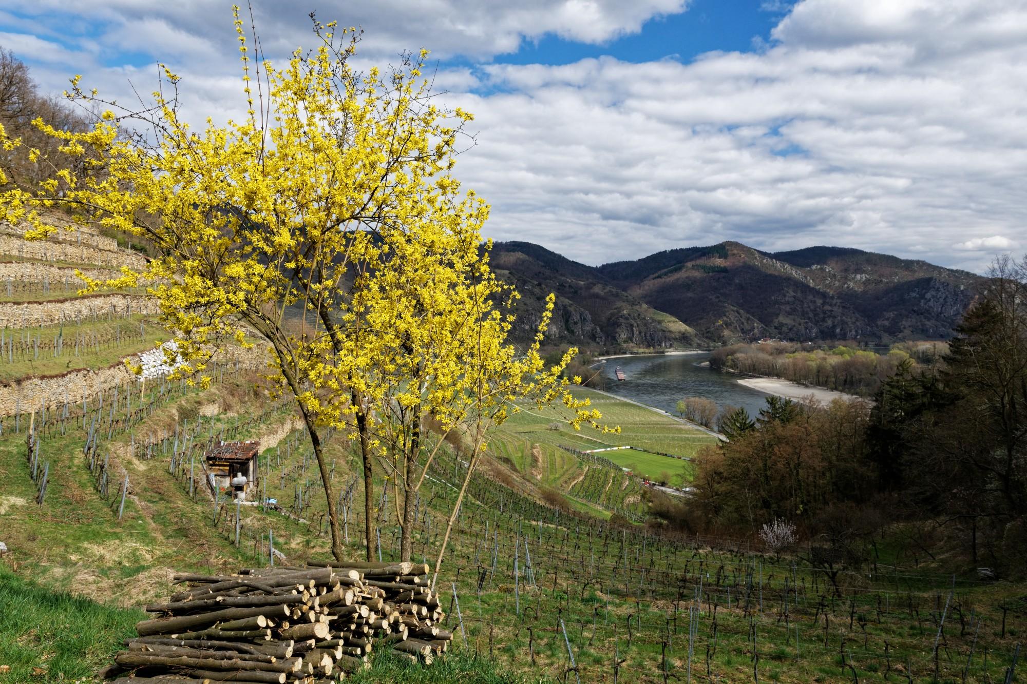 wachau weinberge mit blüten 2021-04-21
