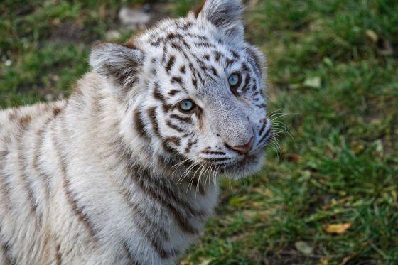 weisse tiger im kameltheater kernhof 2019-10-19
