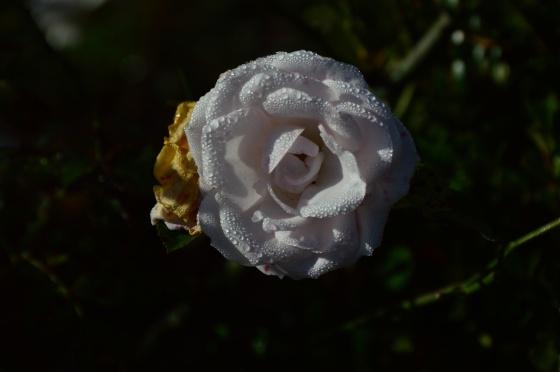 weisse rose mit morgentau